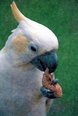 Рід cacatua (какаду) великий желтохохлий какадуcacatua galerita (plyctolophus galeritus)