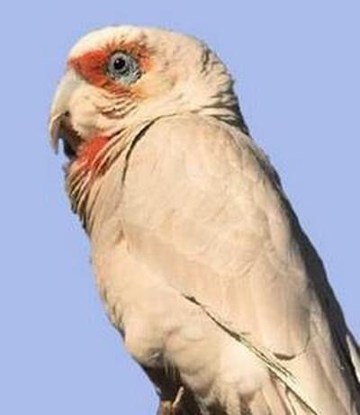 Рід cacatua (какаду) носатий какаду або східна носата кореллаcacatua tenuirostris (kakatoe tenuirostris)