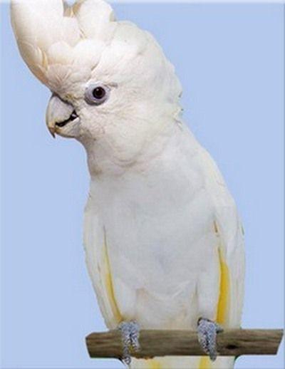 Рід cacatua (какаду) соломонові какадуcacatua ducorpsii (plyctolophus ducrops)
