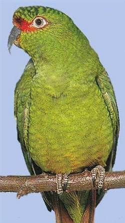 Рід enicognathusчоройenicognathus leptorhynchus