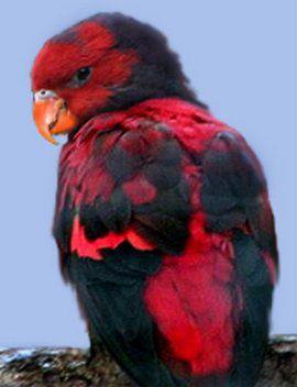 Рід eos (червоні лорі) лускатий або капуцинові червоний лоріeos squamata