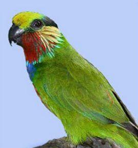 Рід карликові папужки (psittaculirostris) карликовий папуга едвардсаpsittaculirostris edwardsii