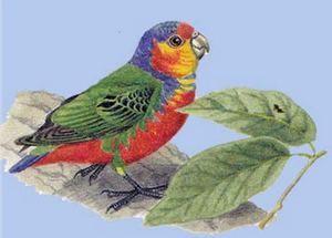 (Род micropsitta) дятловим папужка бруінаmicropsitta bruijnii