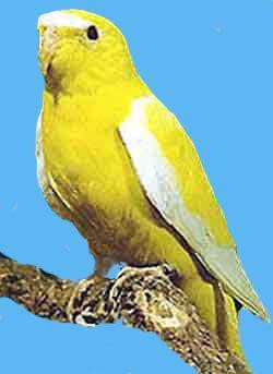 Рід neophema (трав`яні папужки) елегантний трав`яний папужка (neophema elegans)