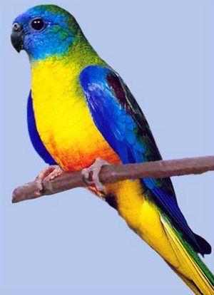 Рід neophema (трав`яні папужки) блакитний трав`яний папужка (neophema pulchella)