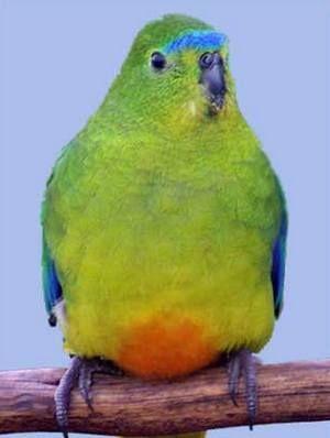 Рід neophema (трав`яні папужки) златобрюхій трав`яний папужка, або помаранчевобрюхі (neophema chrysogaster)