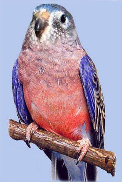 Рід neopsephotusрозовобрюхіе попугайчікірозовобрюхій трав`яний папужка (neophema bourkii або neopsephotus bourkii)