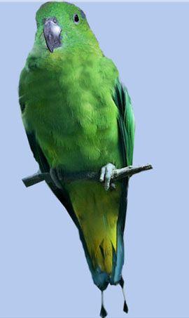 Рід нітехвостого або ракетохвостие попугайчікібуруйскій ракетохвостий папуга (prioniturus mada)