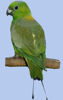 Рід нітехвостого або ракетохвостие попугайчікімотмот-папужка іліжелтошейний ракетохвостий папуга (prioniturus platurus)