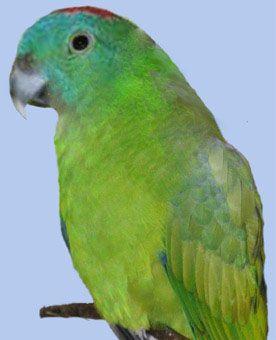 Рід нітехвостого або ракетохвостие попугайчікігорний ракетохвостий папуга (prioniturus montanus)