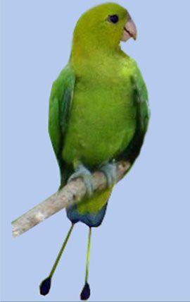 Рід нітехвостого або ракетохвостие попугайчікізелёний або лузонскій ракетохвостий папуга (prioniturus luconensis)