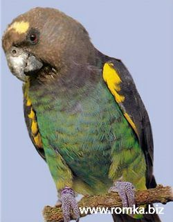 Рід poicephalus (довгокрилі папуги) довгокрилий папуга мейеровpoicephalus meyeri