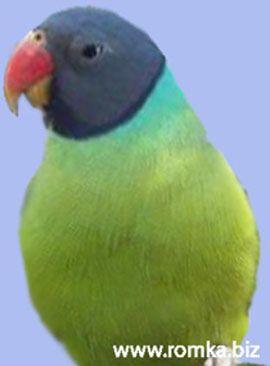 Рід psittacula (колчатие або ожерелові папуги) гімалайський, або чорноголовий, благородний попугайpsittacula himalayana