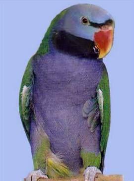 Рід psittacula (колчатие або ожерелові папуги) китайський ожереловий попугайpsittacula derbiana