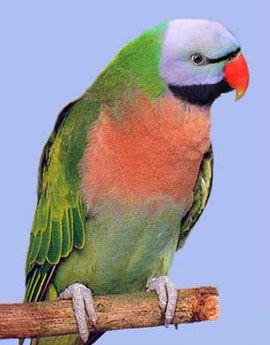 Рід psittacula (колчатие або ожерелові папуги) розовогрудий папуга (англійська назва виду - вусатий папуга) psittacula alexandri