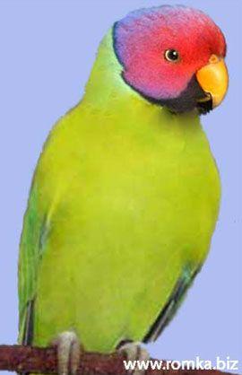Рід psittacula (колчатие або ожерелові папуги) слівоголовий попугайpsittacula cyanocephala