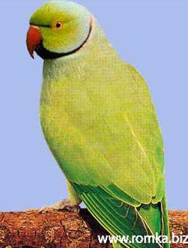 Рід psittacula (колчатие або ожерелові папуги) ожереловий папуга крамера ілііндійскій кільчастий попугайpsittacula krameri