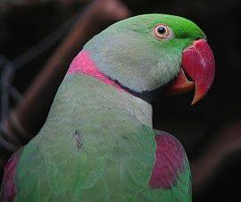 Рід psittacula (колчатие або ожерелові папуги) велика кільчаста папуга олександра або олександрійський попугайpsittacula eupatria