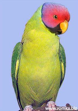 Рід psittacula (колчатие або ожерелові папуги) розовоголовий або червоноголовий ожереловий попугайpsittacula roseata