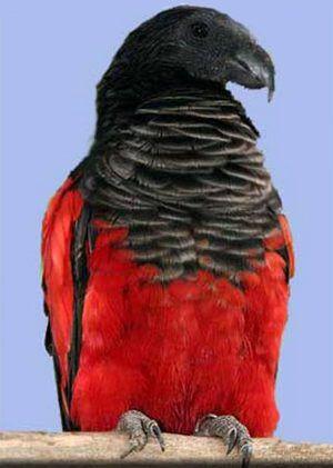 Рід щетіноголовие попугаіpsittrichasinae