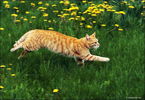 Рудо-біла кішка (кіт) біжить по зеленій траві. Фото, фотографія картинка тварини