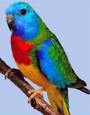 Рід трав`яні папужки (neophema)