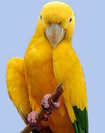 Рід золоті аратинги (guaruba)