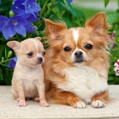 Пологи у собак дрібних порід
