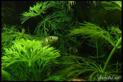 красиві акваріумні рослини