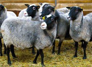 Романовська порода - перлина російського вівчарства