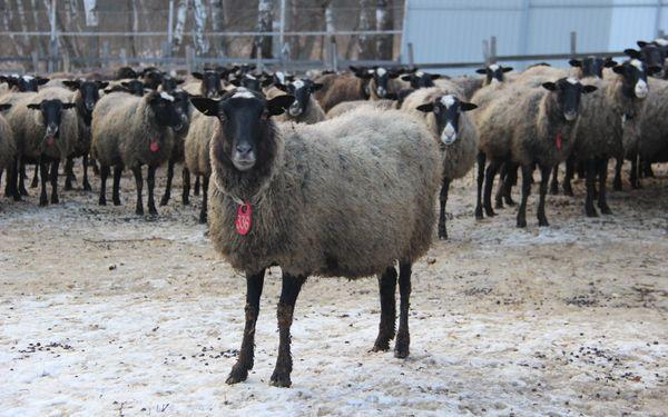Велике стадо романівських овець