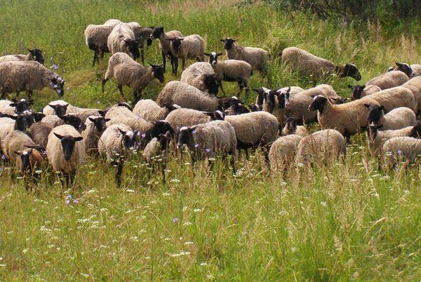 Велике стадо овець на випасі