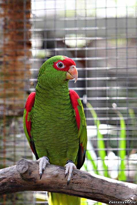 Розкішний або червоноголовий амазонamazona pretrei