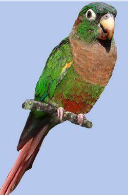 Розкішний краснохвостий папуга, pyrrhura calliptera