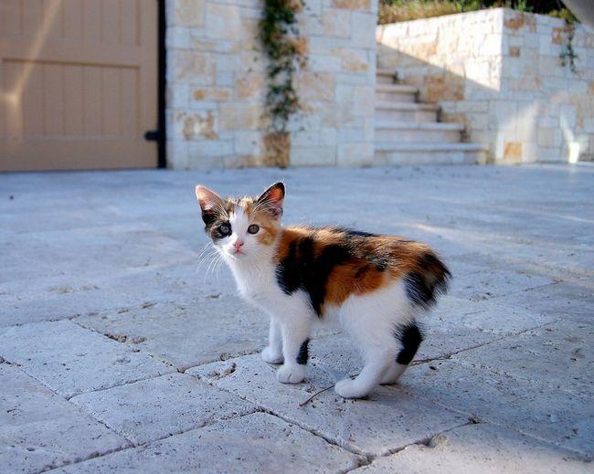 Бобтейли - милі безхвості кішки