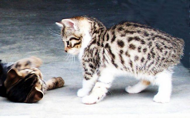 Кошенята породи бобтейл дуже милі створіння