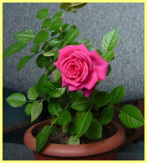 Роза кімнатна догляд і розмноження: фото
