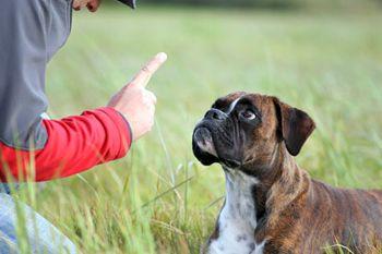Навчання собаки команді лежати