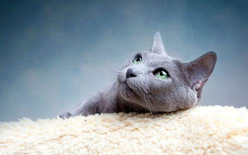 Російська блакитна кішка: опис породи і особливості догляду