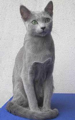 Російська блакитна порода кішок.