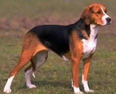 Собака чорно-червоного забарвлення