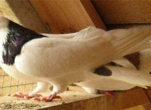 Російські красені - голуби породи грівуни