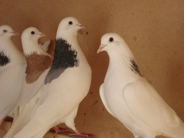 Голуби Грівуни в голубника