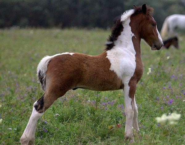 Російський ваговоз - чудова м`язиста конячка