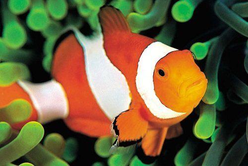 Риба анемоновая