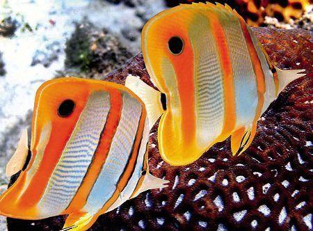 Риба-метелик меднополосая