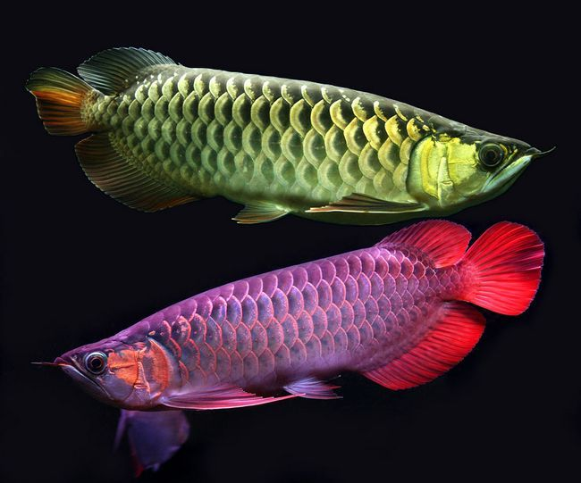 Риба -дракон для великих акваріумів