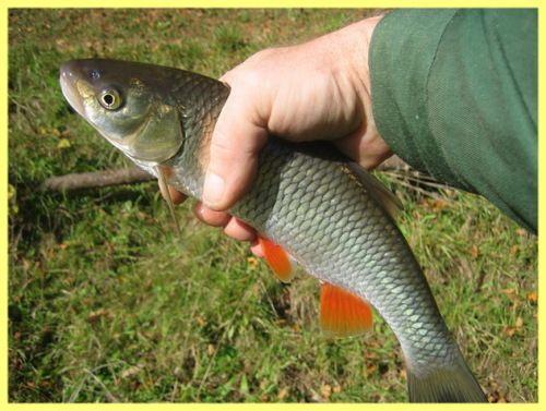 Риба ялець на що ловити