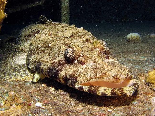 Риба-крокодил