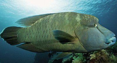 Риба-наполеон